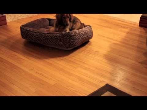 Cute Dauschund Puppy Chasing Laser Pointer Makes Me Laugh