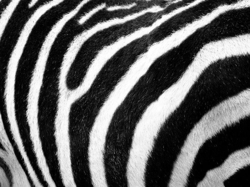 Zebra Print Behang.Zebra Print Van Fabian Van Bakel Products Zebra Print Canvas