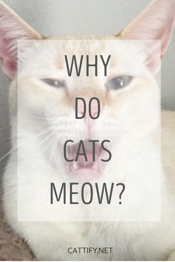 Why Do Cats Meow Why Do Cats Purr Cat Crying Cats Meow