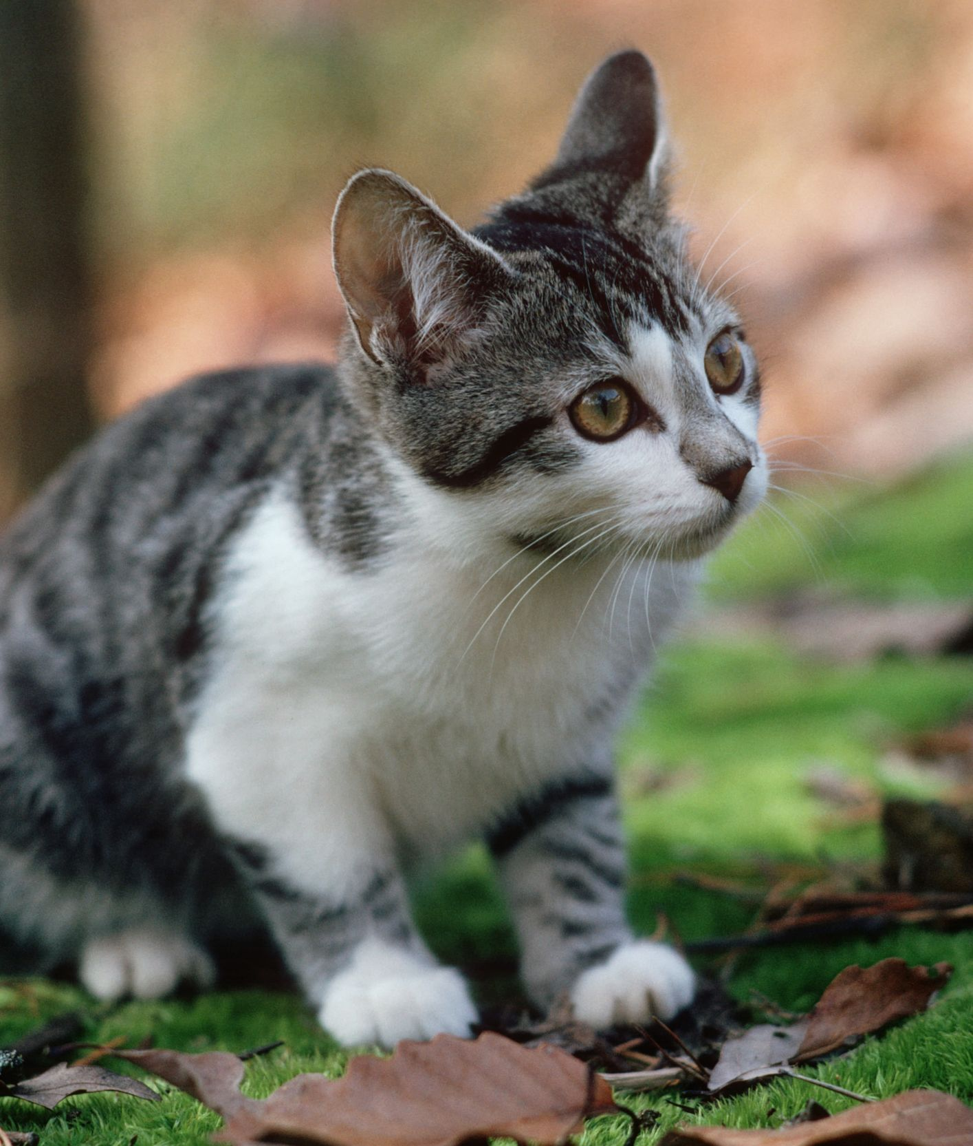 10 Cat Breeds That Love Water (With images) Cat breeds
