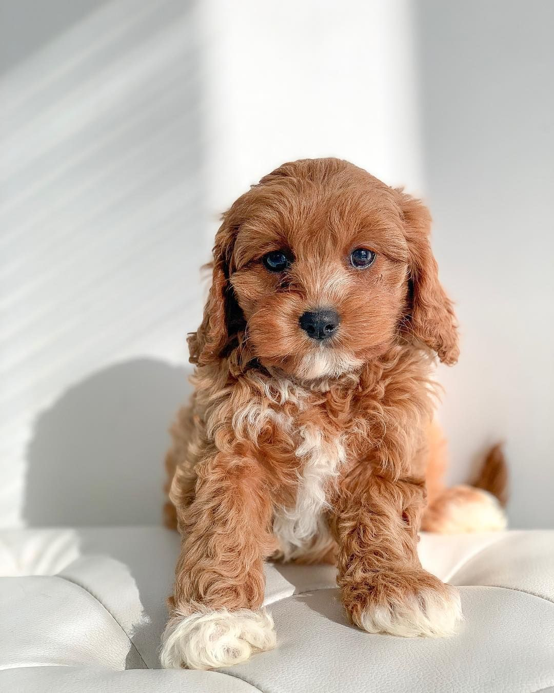 Cute Cavoodle Puppy Cute Dog Pictures Cute Dogs And Puppies Fluffy Puppies