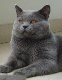 Beauty British Shorthair British Shorthair Cats Chartreux Cat Cute Animals