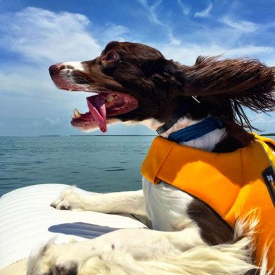 26 Adorable Dogs On The Beach Spaniel Breeds Springer Spaniel Puppies Dogs