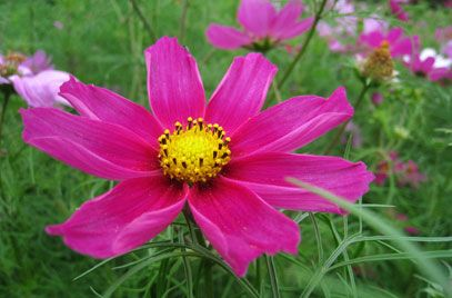 Cosmea Summer Flowering Annual Can Be Sown Directly As Of May Cosmos Plants Flowers