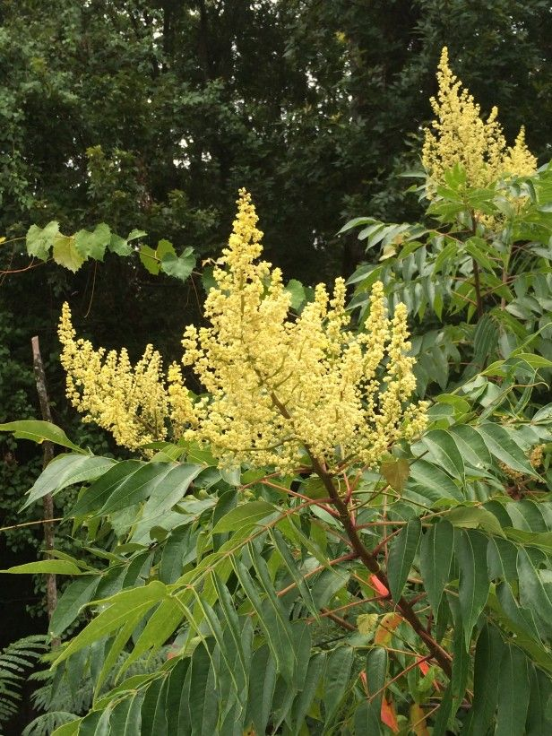 "Full Garden In Backyard: Winged SumacWinged Or ""smooth"" Sumac (Rhus Copallina) Has"