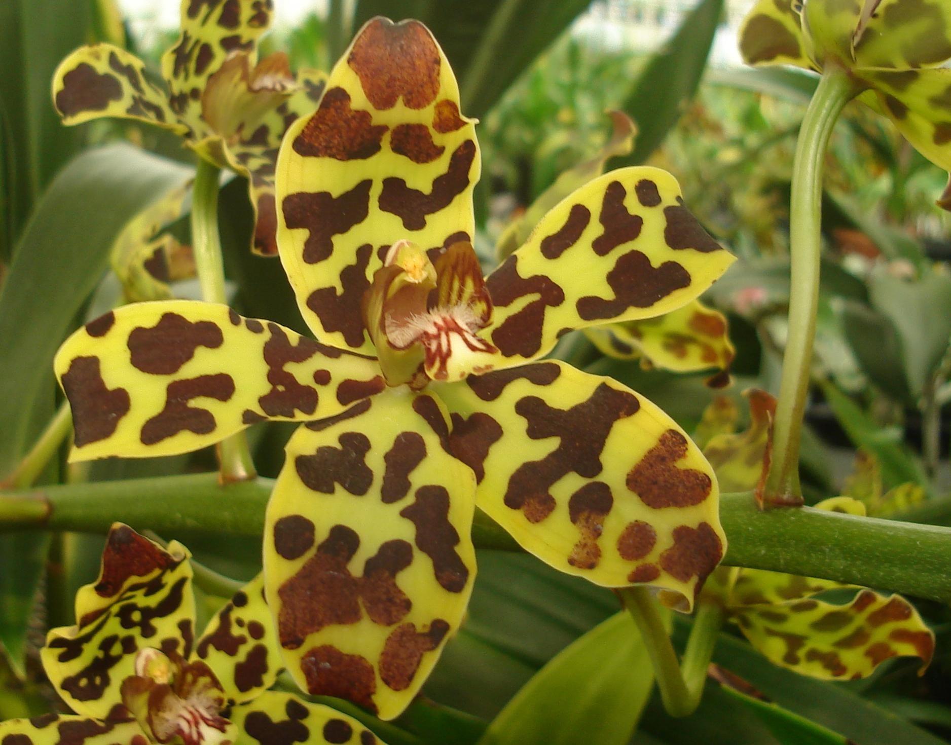 Grammatophyllum Scriptum Var Leopardianum Orchids Flowers