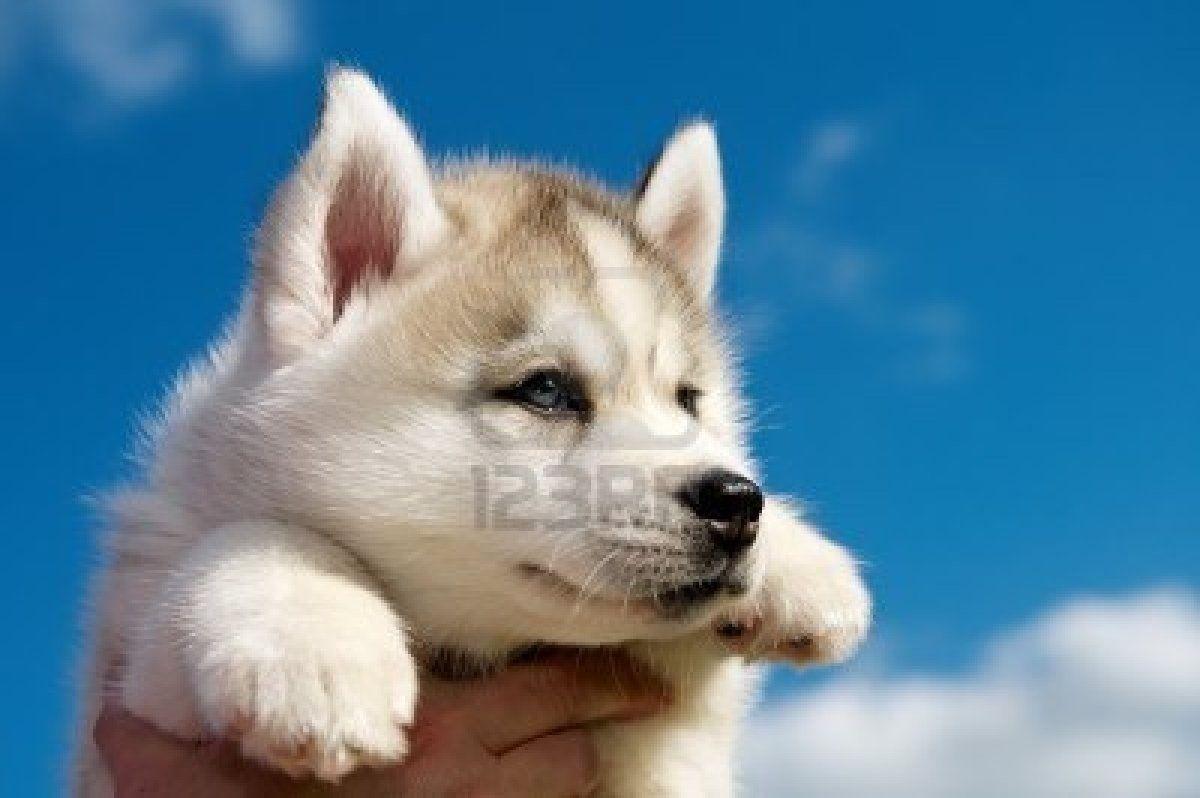 Siberian Husky Siberian Husky Dog Husky Dogs Siberian Husky