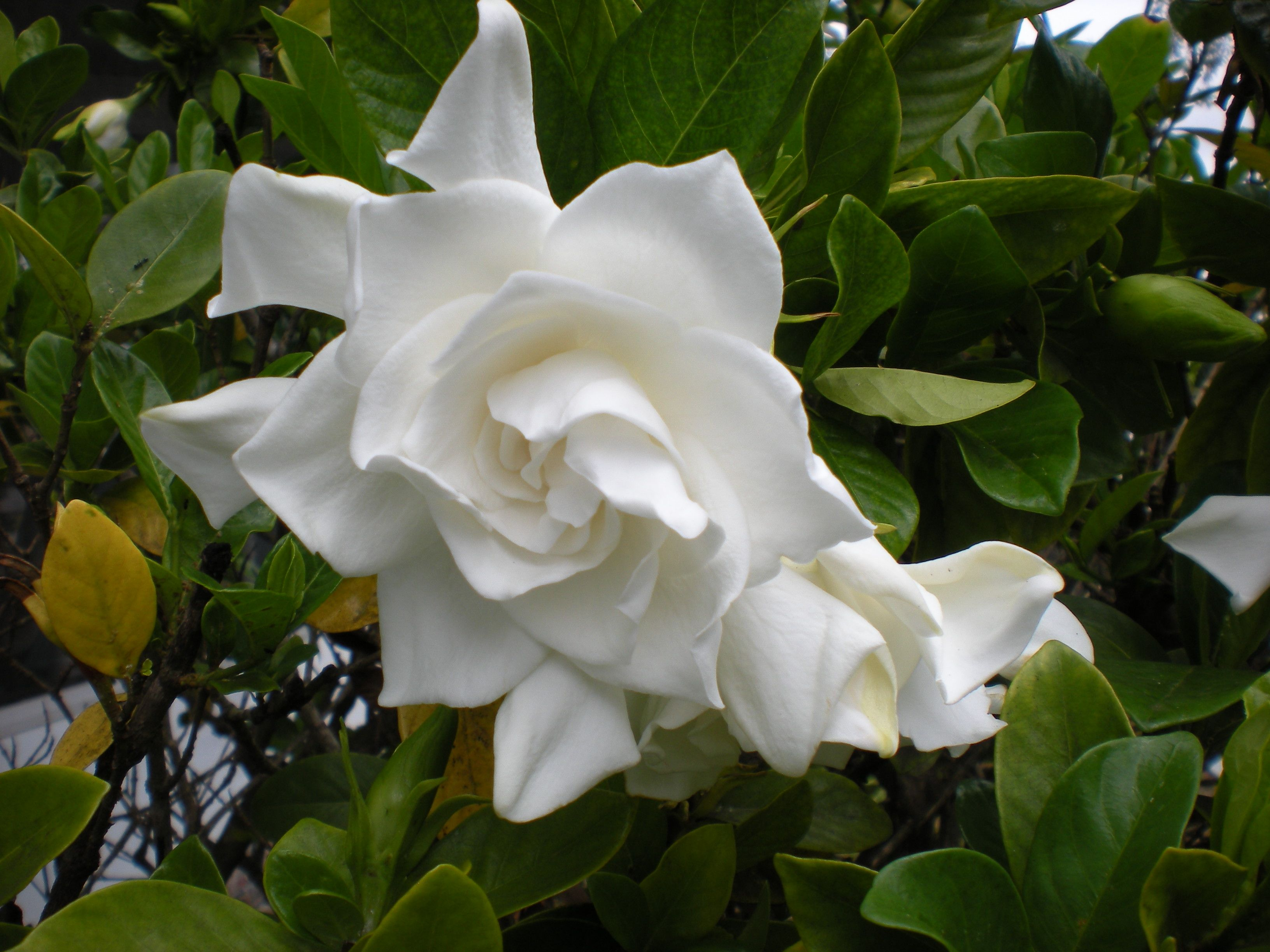 My Gardenia Bush Is In Full Bloom Has Anyone Ever Heard Of