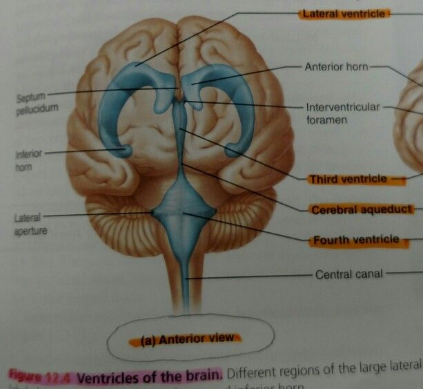 Ventricles Of The Brain Ap Study Guides Pinterest Brain And