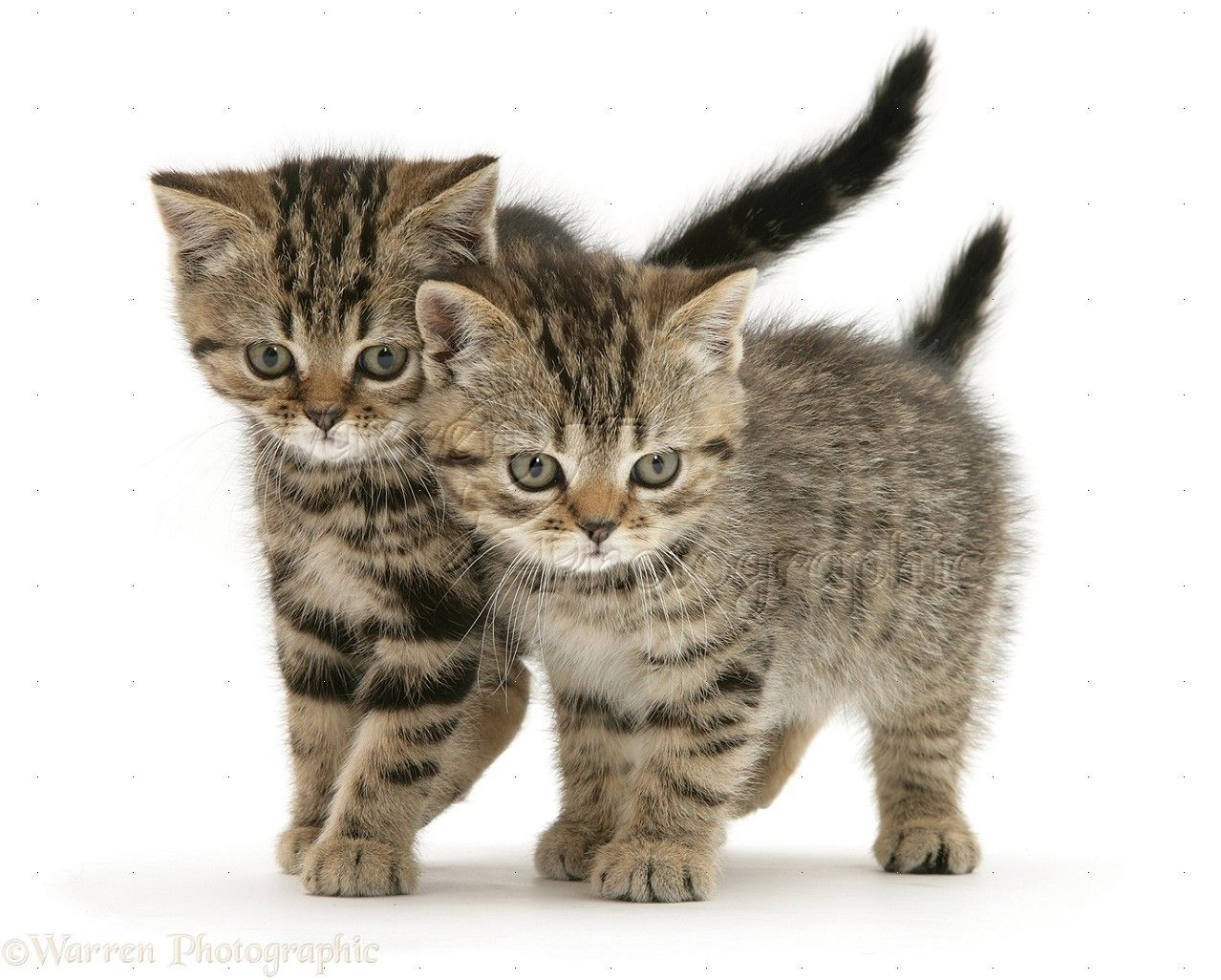 Collection Short Haired Brown Tabby