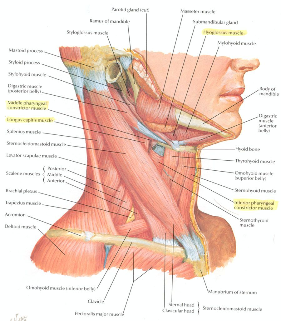 Neck Muscle Anatomy Health Medicine And Anatomy Reference