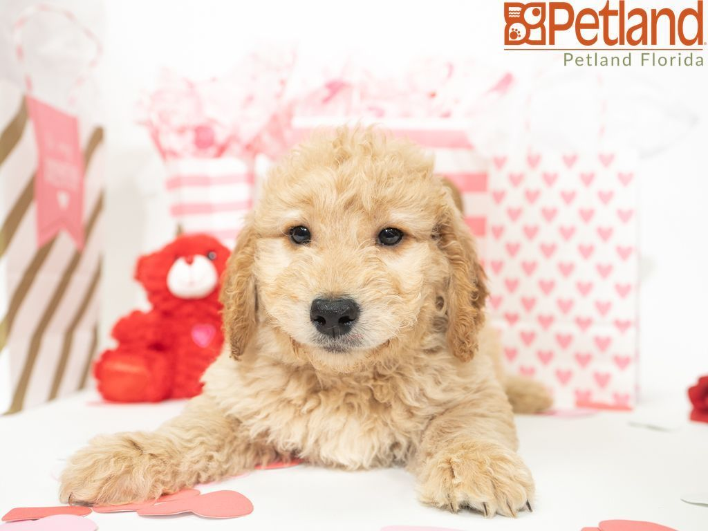 Puppies For Sale Puppy Friends Goldendoodle Puppy For Sale