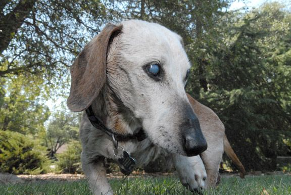 Rocky the dashshund b Mountain Democrat is 25 years old | My