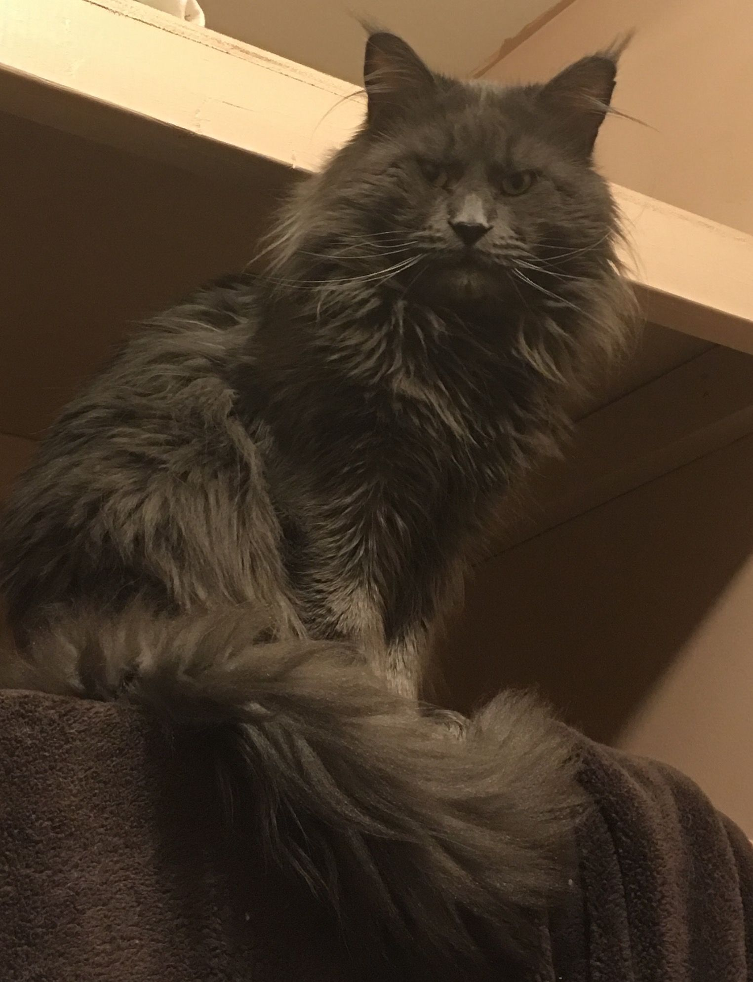 Pin On Elysian Maine Coons