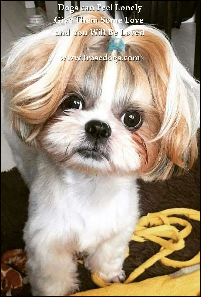 Shih Tzu Eye Problems Shih Tzu Shih Tzu Dog Shih Tzu Puppy