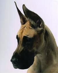 Great Dane Patient And Friendly Great Dane Great Dane Puppy Dane