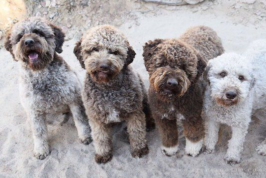 Lagotto Romagnolo Italy 16 to 19 inches 24 to 35 pounds
