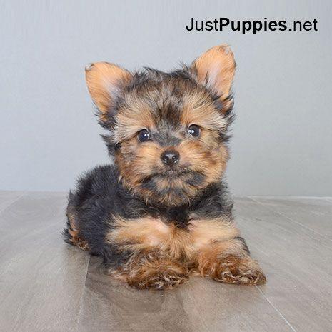 Puppies for Sale - Orlando FL - Justpuppies.net