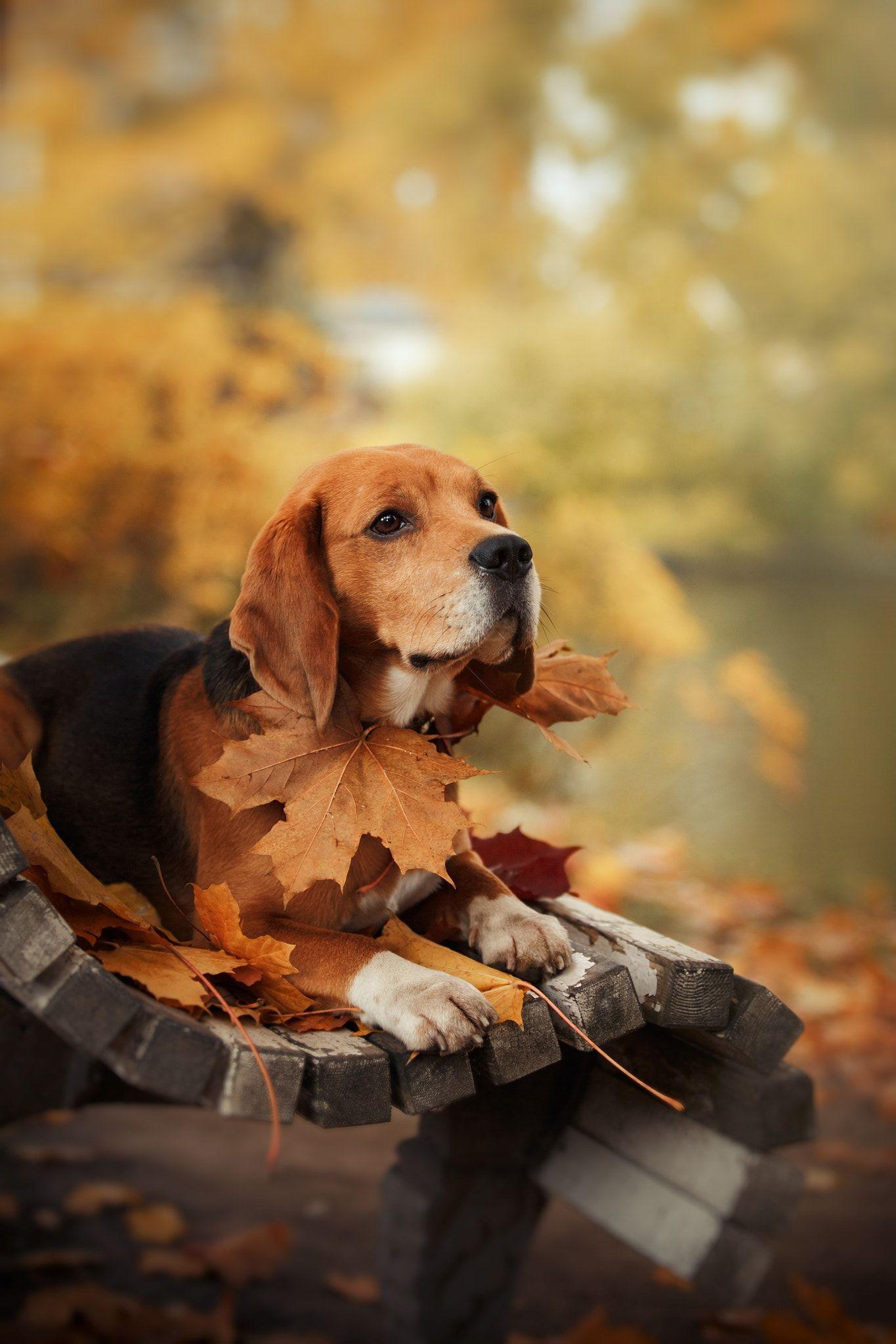 Beagle Cute Beagles Beagle Dogs