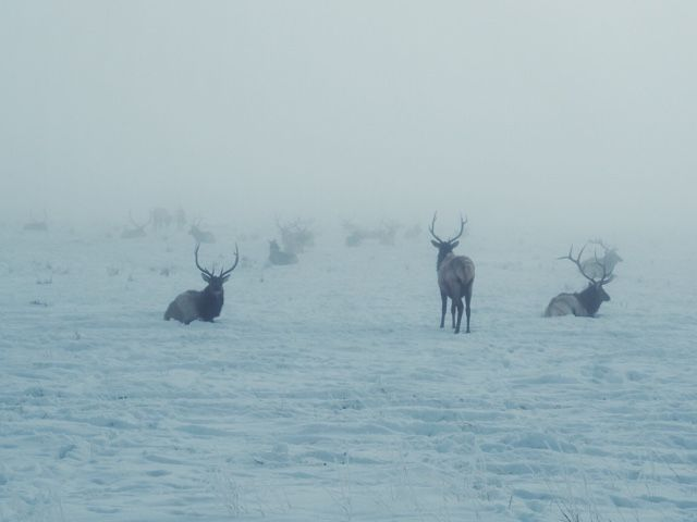Beasts in the Mist: A Morning at the National Elk Refuge in Jackson Hole, Wyoming. Find your inner wild.