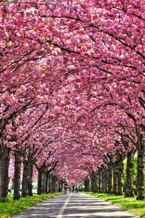 Cherry Tree In Full Bloom Holzweg Magdeburg Germany By Amy Love Beautiful Nature Beautiful World Beautiful Landscapes