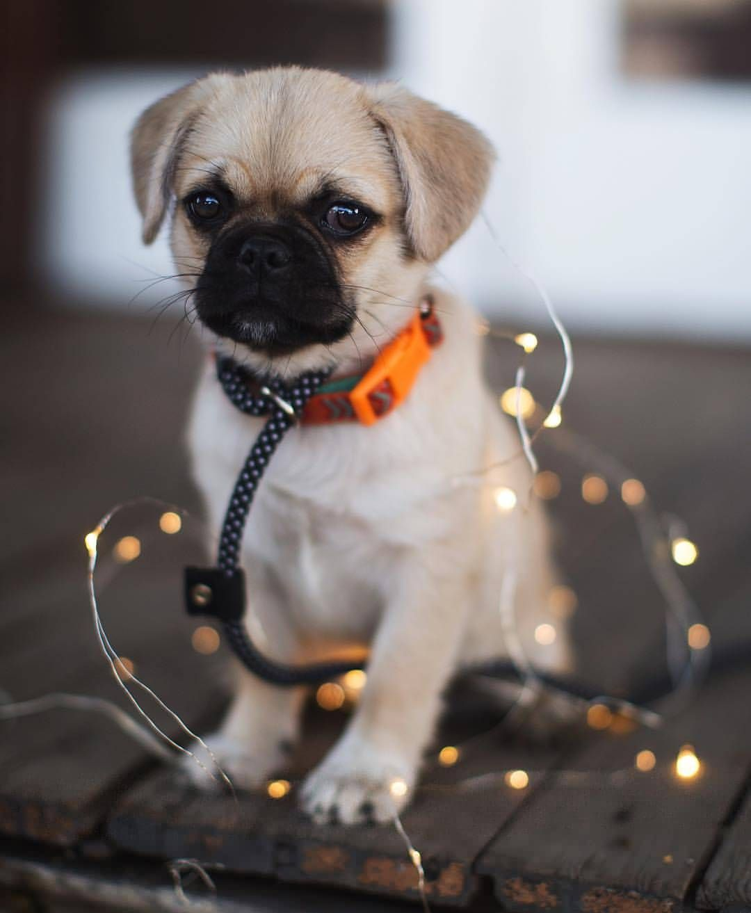 I Need This Pug In My Life Pugdaily Pugs Pug Cute Puglover
