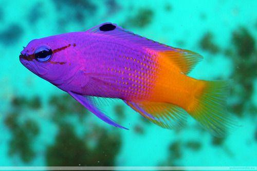Royal Gramma Fairy Basslet Ocean Creatures Fish Background Sea And Ocean
