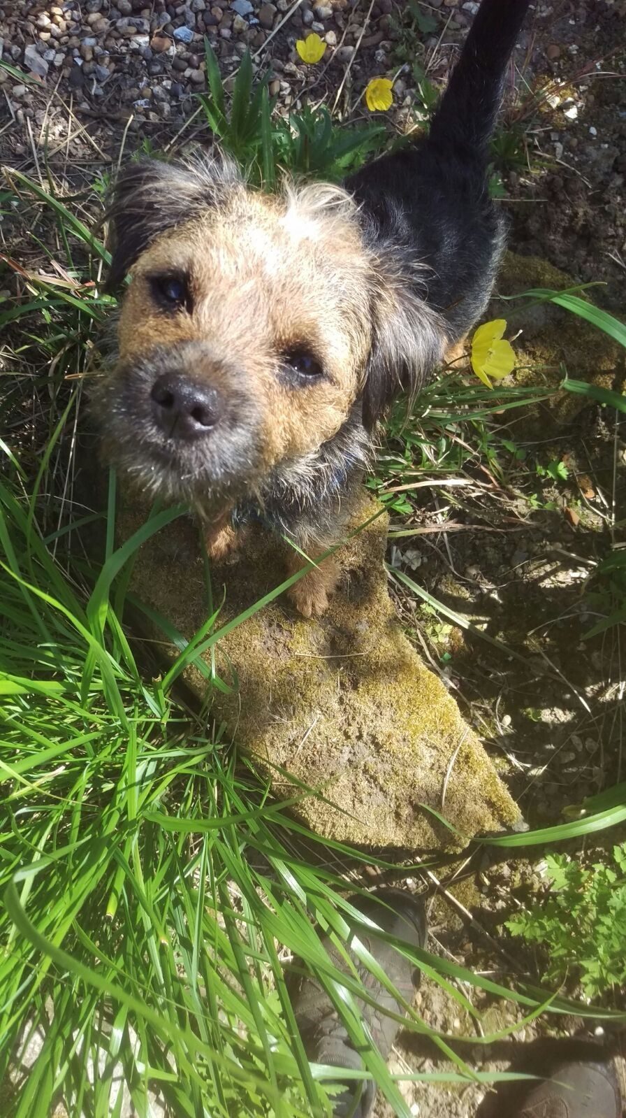 Pin By Susanne Pound On Border Terrier Woody Border Terrier