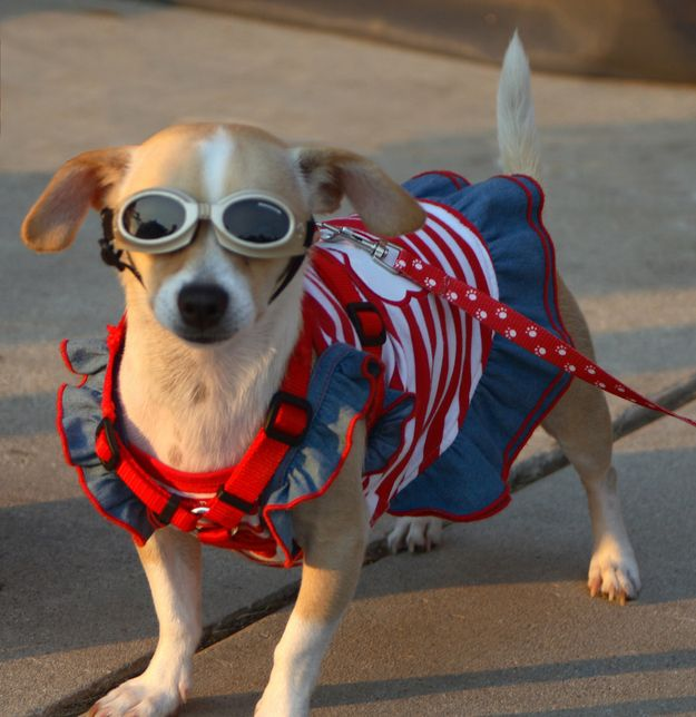This dog's patriotism shines so bright, she has to put on shades. | 23 Freedom-Lovin' Dogs