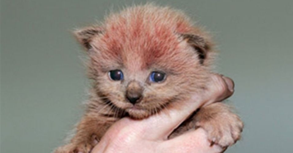 Pink baby kitty found in a factory - England. (Reproduction / Lee Tucker / Cats Protection)