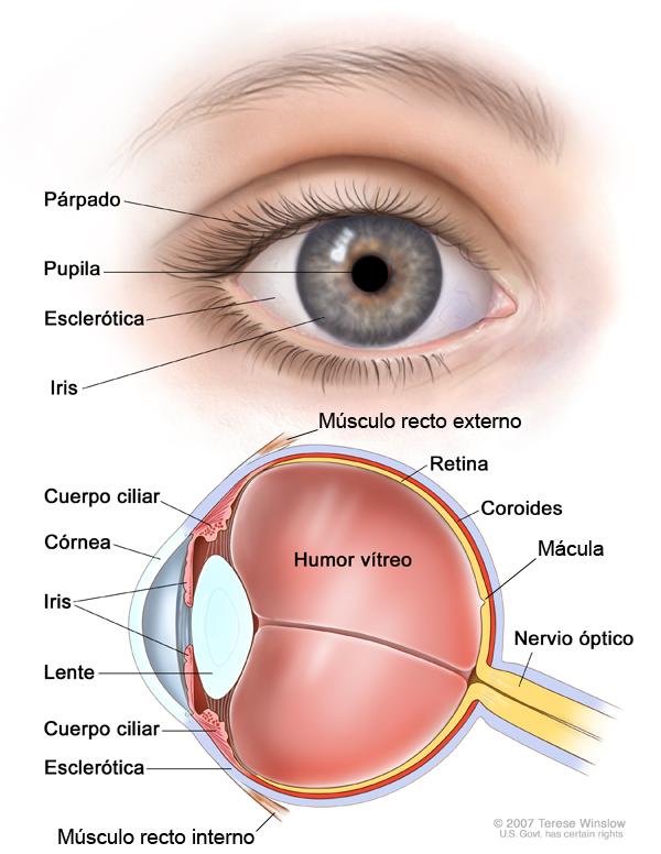 Las partes del ojo es algo que causa notable interés en muchas ...
