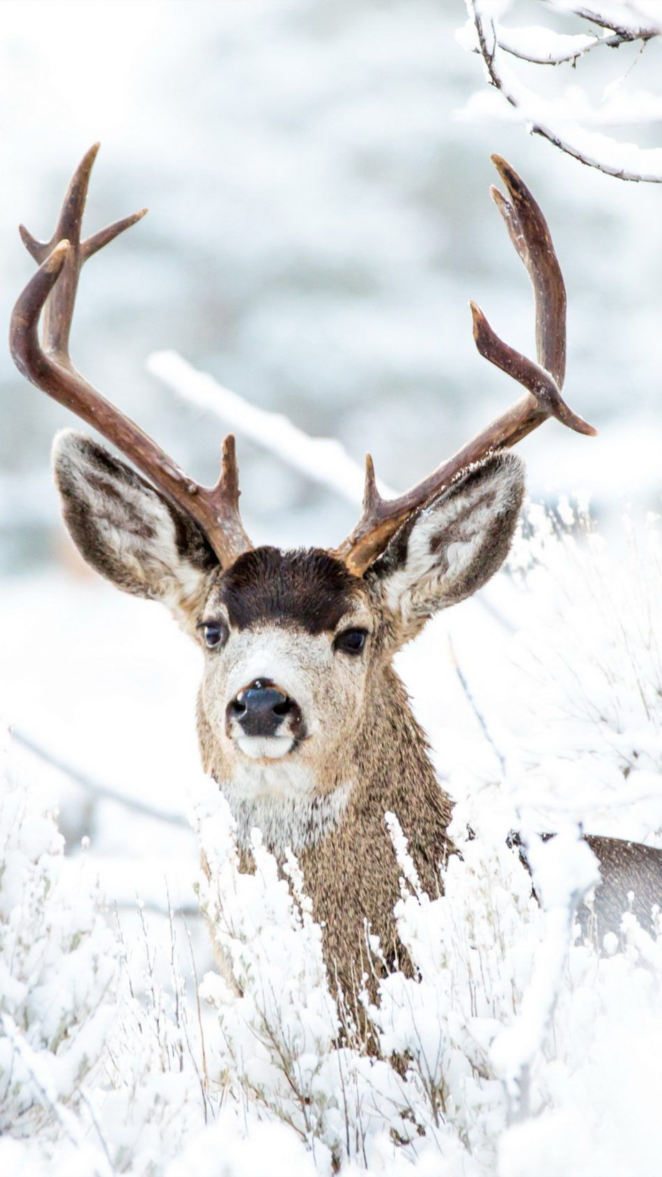 Download Deer Winter Snow Free Pure 4K Ultra HD Mobile