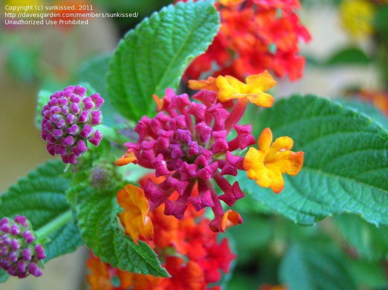 Today S Bloom Is Florist S Cineraria Pericallis Cruenta Lantana Bloom Pretty Flowers