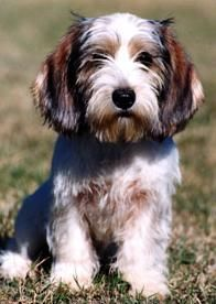 Petit Basset Griffon Vendéen. I'm going to have to make a separate board for PBGVS. This puppy is so cute I can't stand it!