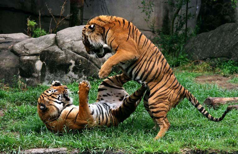 Malayan Tigers Pandu and Jammu (With images) Cat