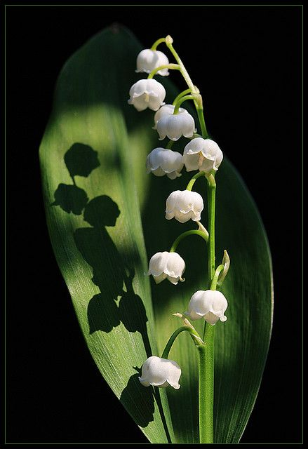 Lily of the Valley, shade loving, usually I have about 5 leaves for every flower I get, and my flowers are about half this height hidden in the leaves.