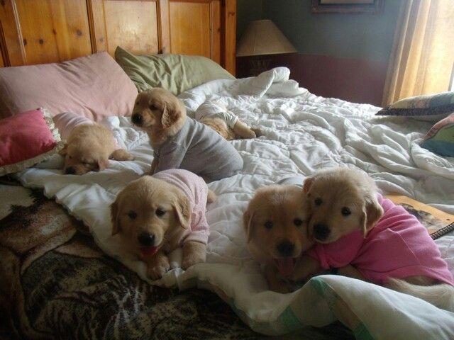 We're not tired. (Golden Retriever Puppies) My Golden