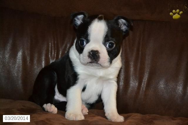 Boston Terrier Puppy For Sale In Ohio Boston Terriers Puppies