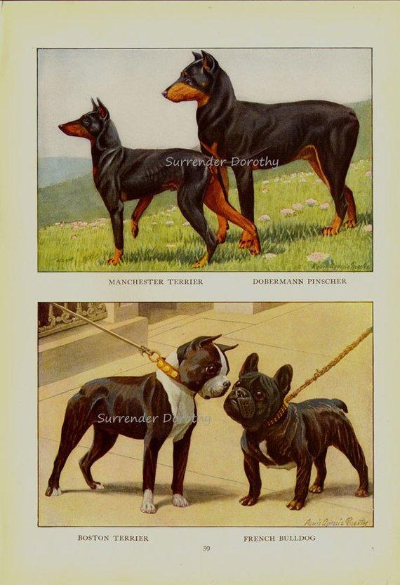 Boston Terrier English Bulldog Doberman Pinscher Dog Louis Agassiz Fuertes 1910s Original Edwardian Antique Lithograph To Frame Dobermann Pinscher Doberman Pinscher Dog Doberman Pinscher