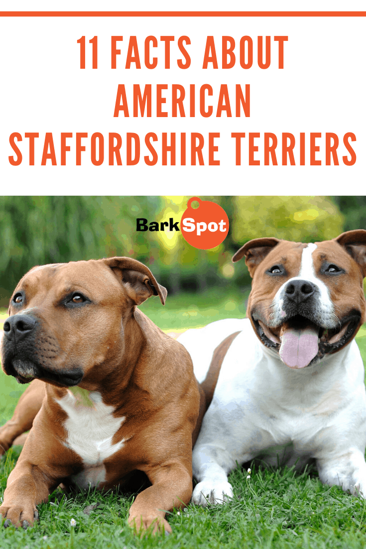 11 Facts Everyone Should Know About American Staffordshire