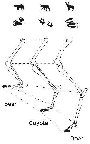 Deer Leg Bone Anatomy How Do Legs And Feet Differ