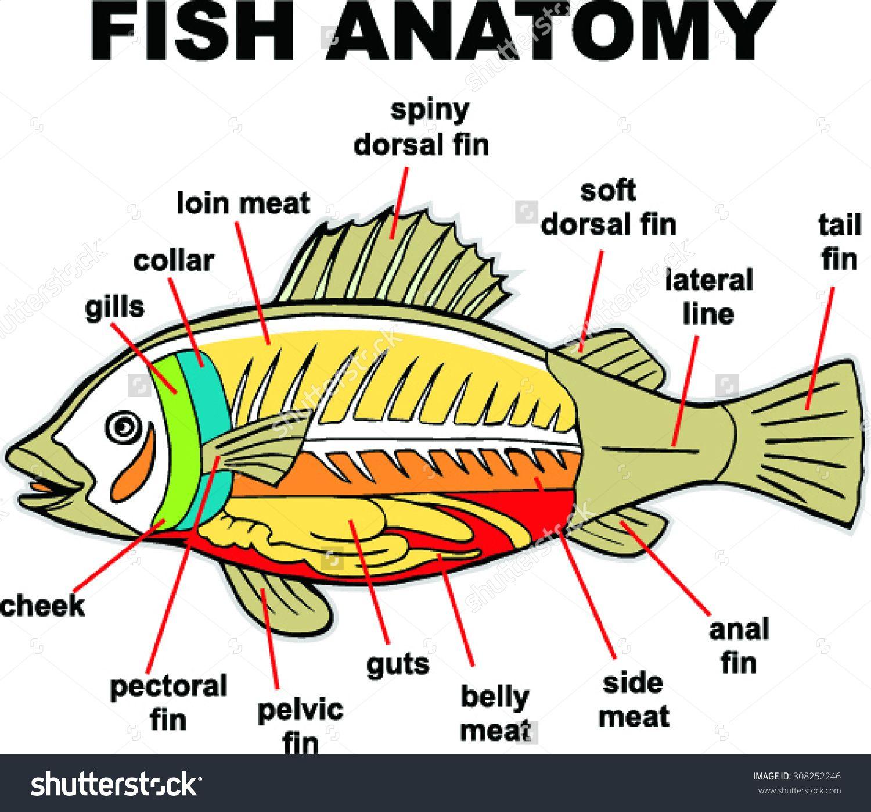 Fish Anatomy Vector Illustration Stock Vector 308252246 ...