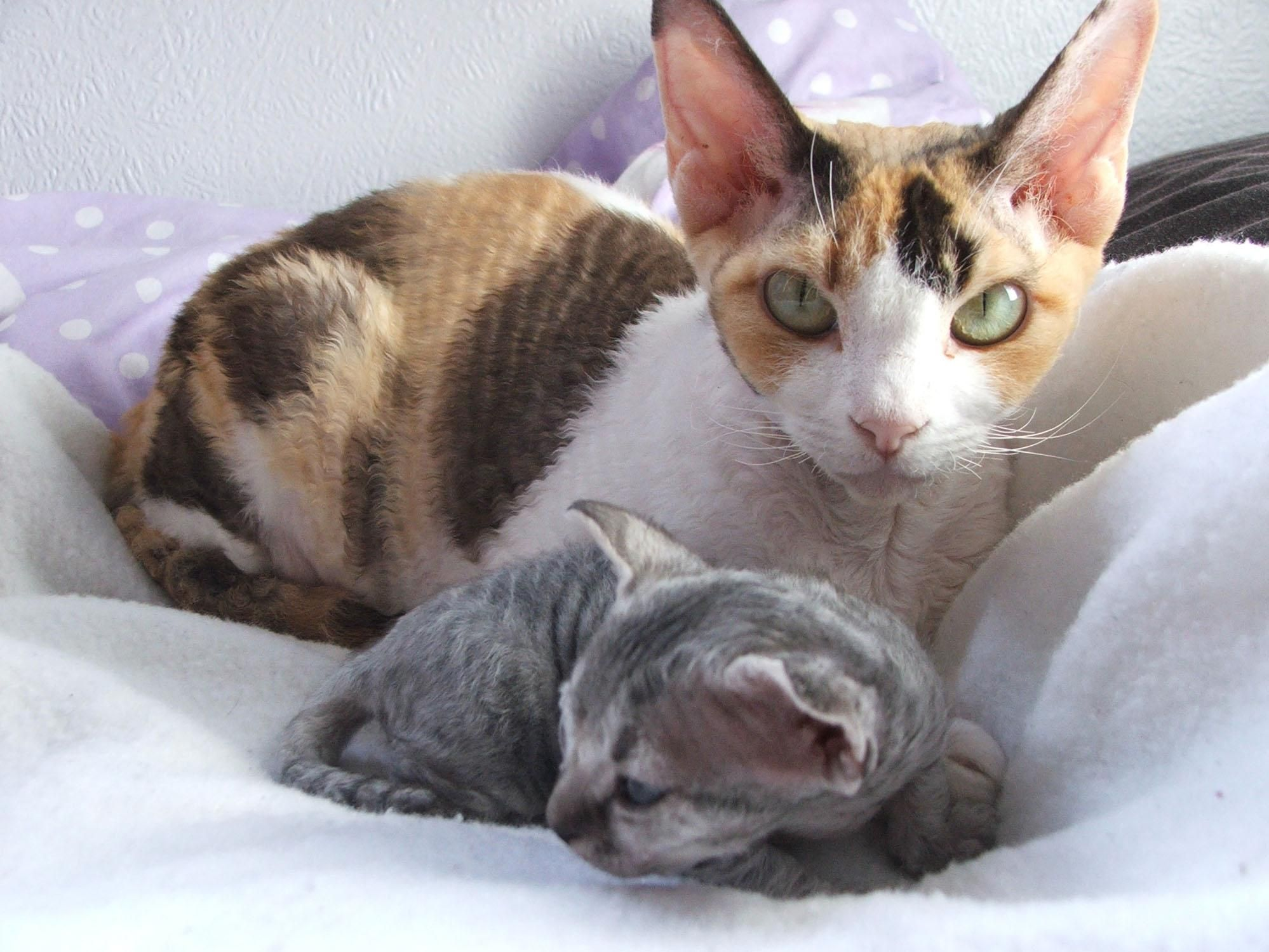 fold siamese sphynx cats turkish van back cat breeds photogallery