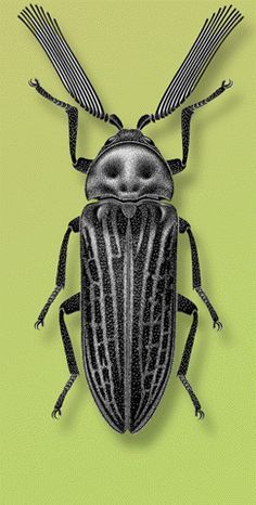 Callirhipis cardwellensis Blackburn. Locality- Australia. Artist- S. P. Kim on Flickr. #insects