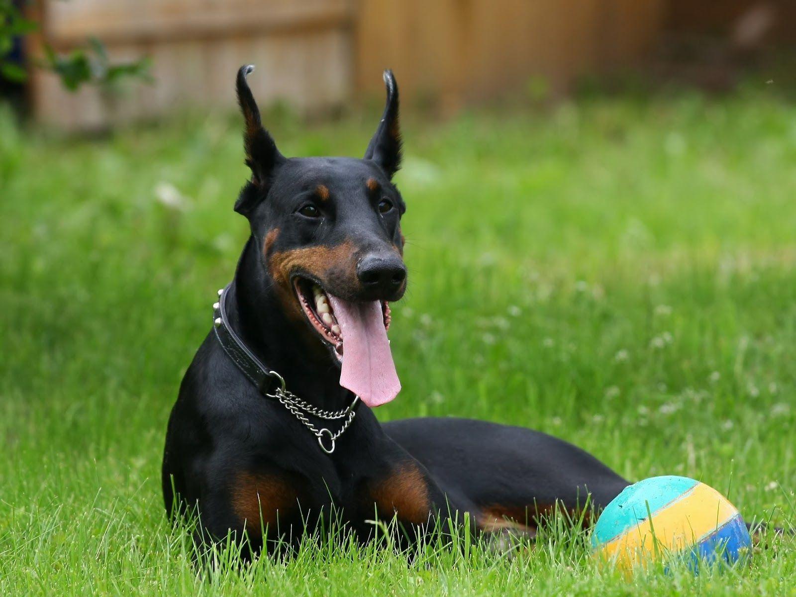 Anjing Doberman Pinscher With Images Doberman Pinscher Puppy