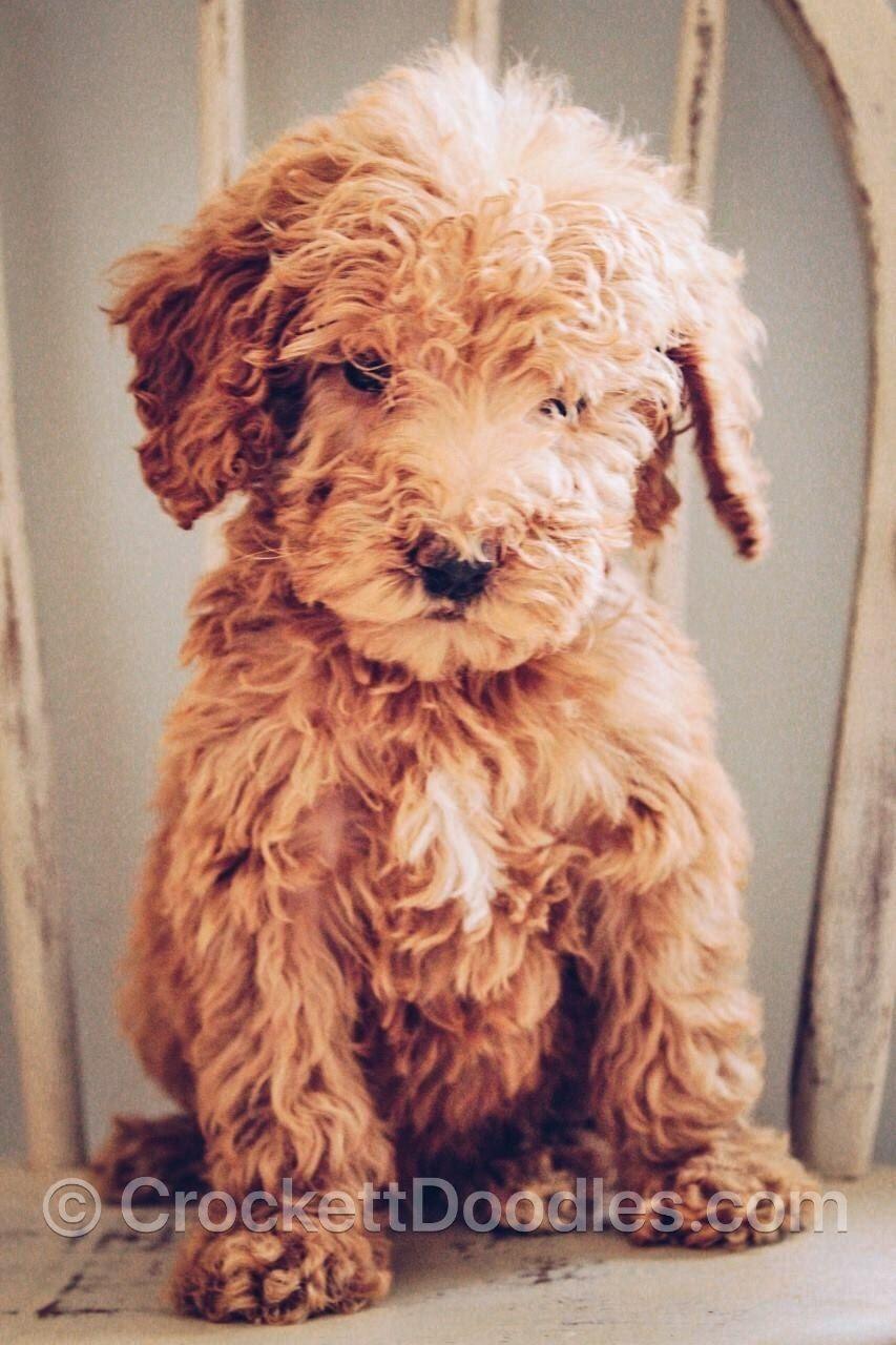 Mini Poodle X Golden Retriever Cross Goldendoodle Puppy For Sale Mini Goldendoodle Puppies Goldendoodle Puppy