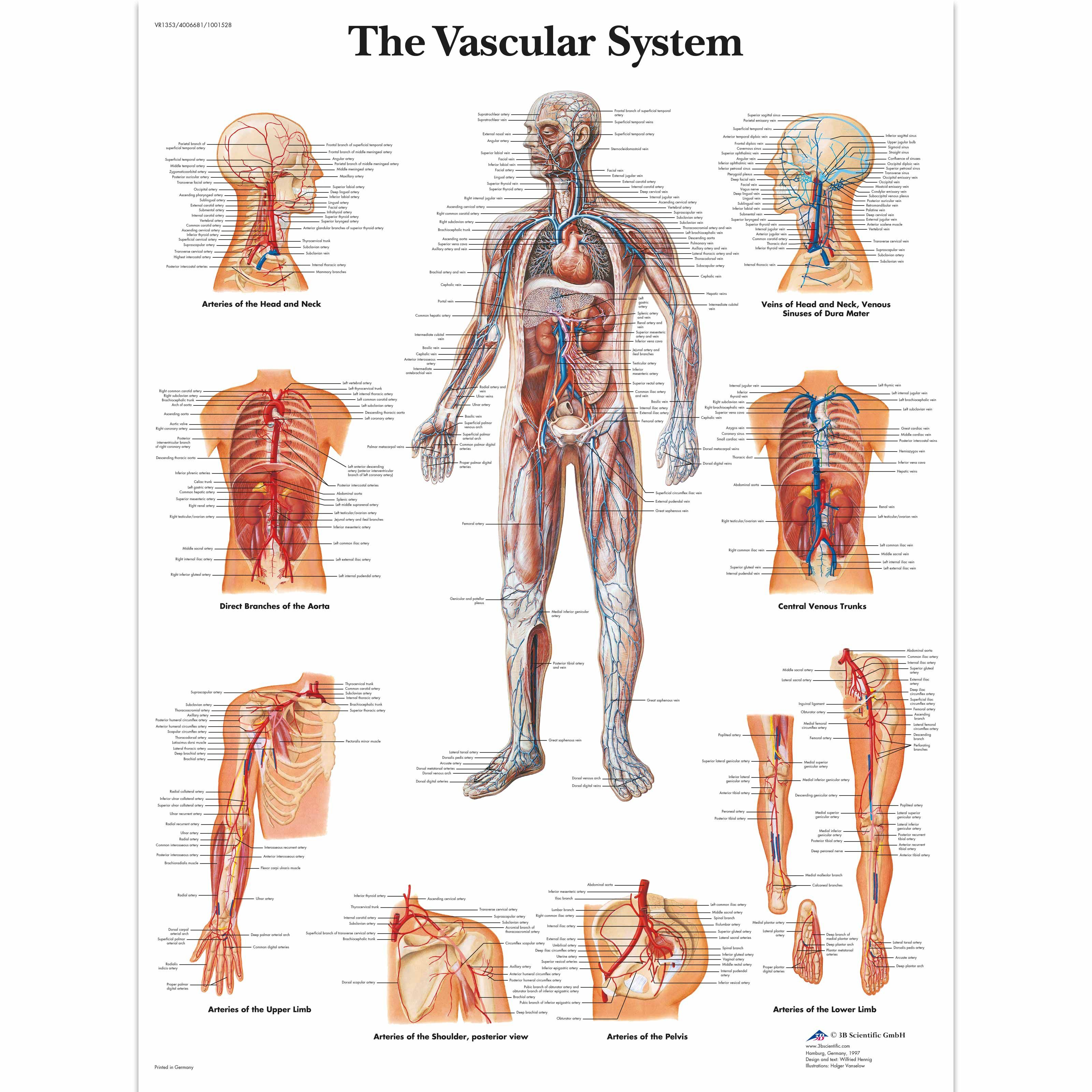 The Vascular System Chart | Anatomy, Mind body spirit and Chart