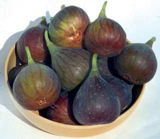 Figs on Wheels! How to grow figs in cooler climates.