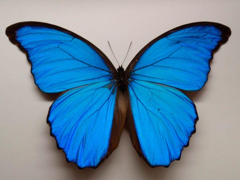 Fotos de la mariposa Morpho Azul