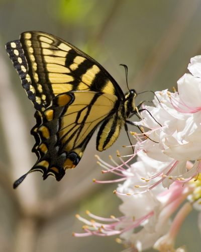 """Yellow Monarch Butterfly"" says a pinner... Let's try Tiger Swallowtail on for size."